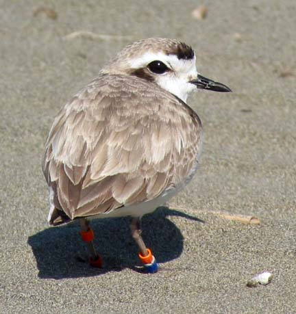 [plover standing in sand]